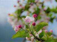 Festa dei Meli in Fiore